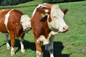 cow, beef, agriculture